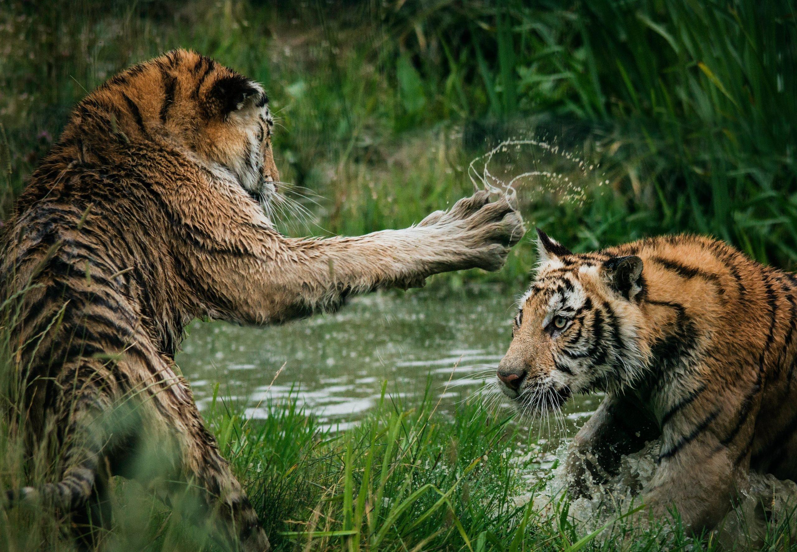 tigres qui se battent